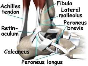 peroneal tendons