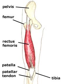 rectus-femoris 1