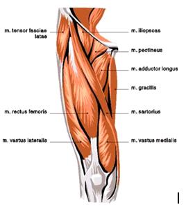 rectus femoris anatomy